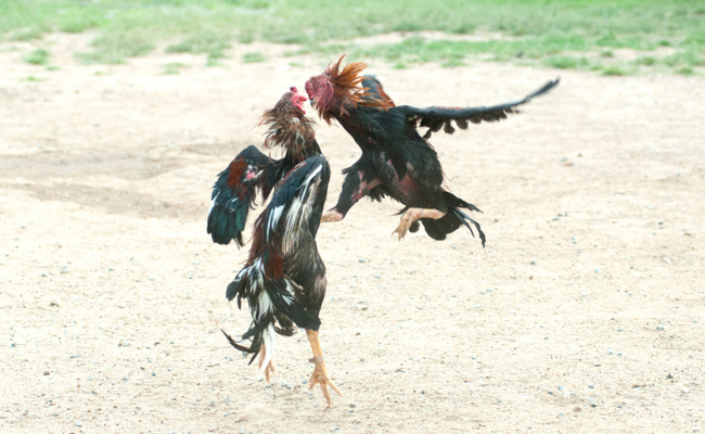 cockfighting gambling site